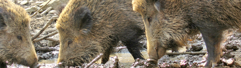 Sologne<sup>&reg;</sup>4R for wild boars